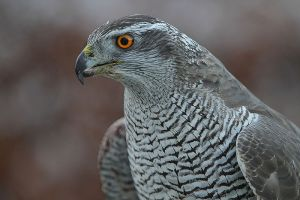 Northern Goshawk © Steve Garvie, Creative Commons Attribution-NonCommercial-ShareAlike 2.0 Generic license