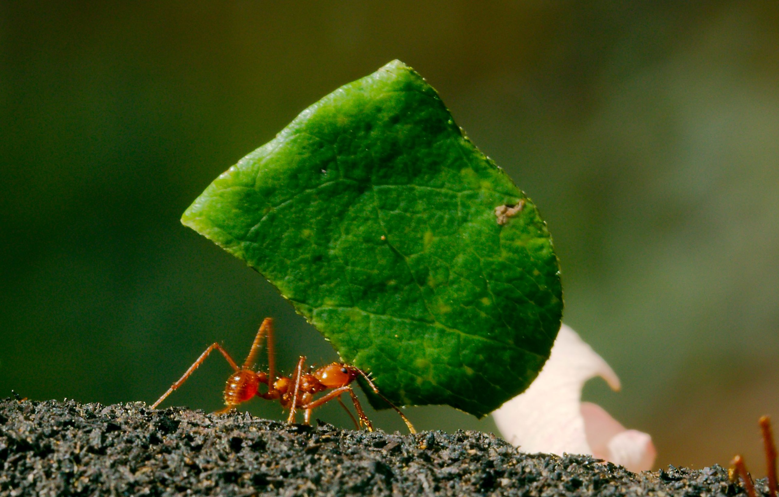 ant leaf cutter Josh More flickr 31599107203_18b285ed95_o