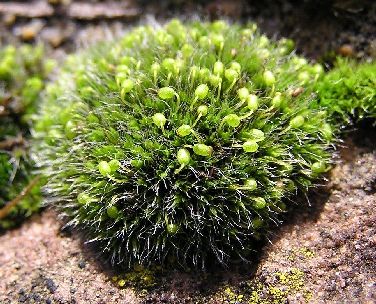Grimmia pulvinata © Michael Becker, Creative Commons Attribution-ShareAlike 3.0 Unported license, via Wikimedia Commons