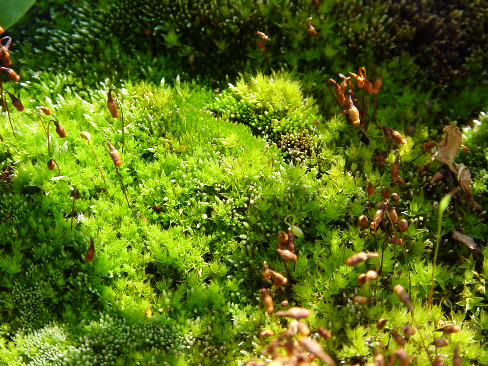 Moss © Manfred Morgner, Creative Commons Attribution-ShareAlike 3.0 Unported license, via Wikimedia Commons