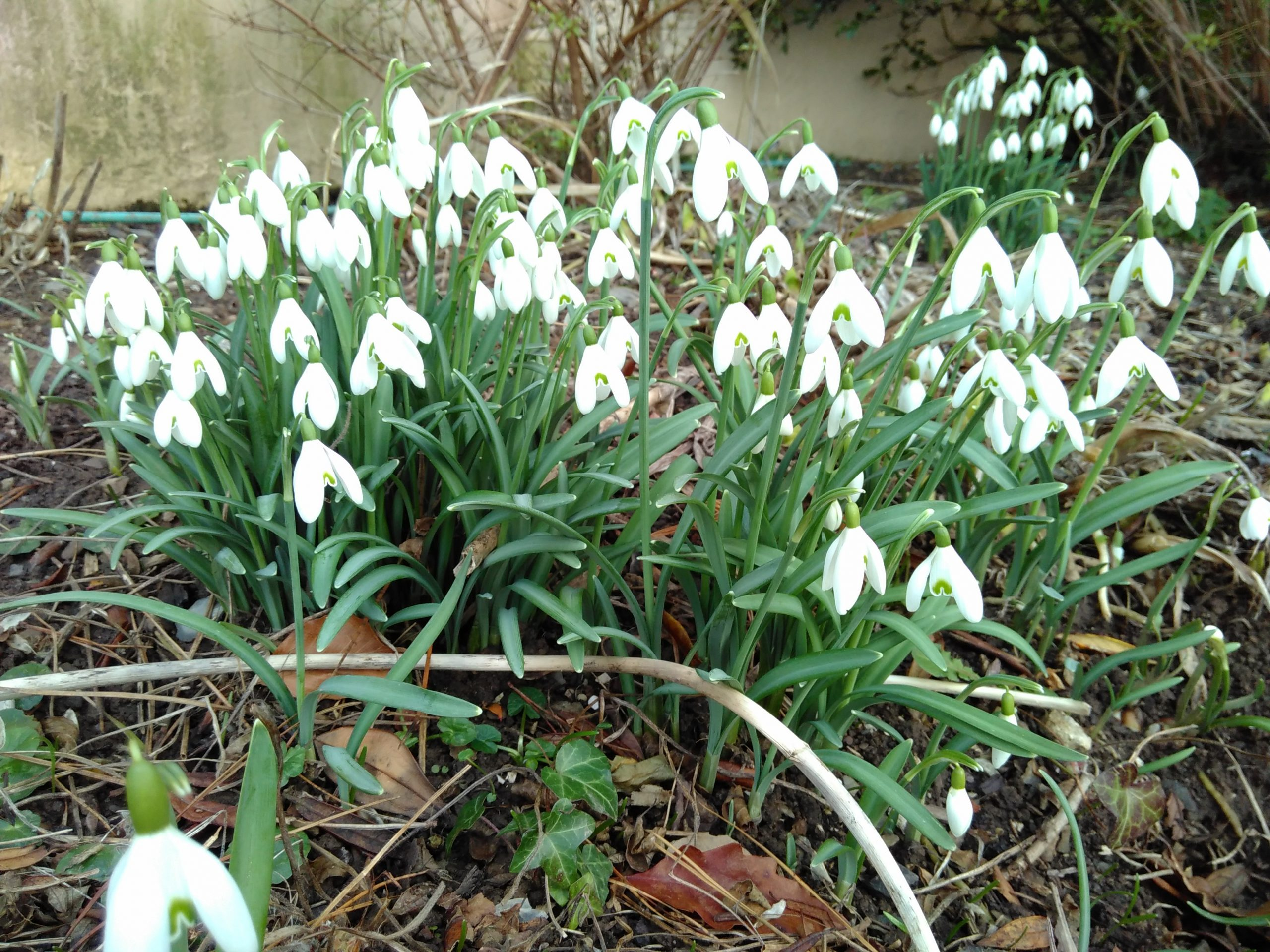 Lee Abbey snowdrops