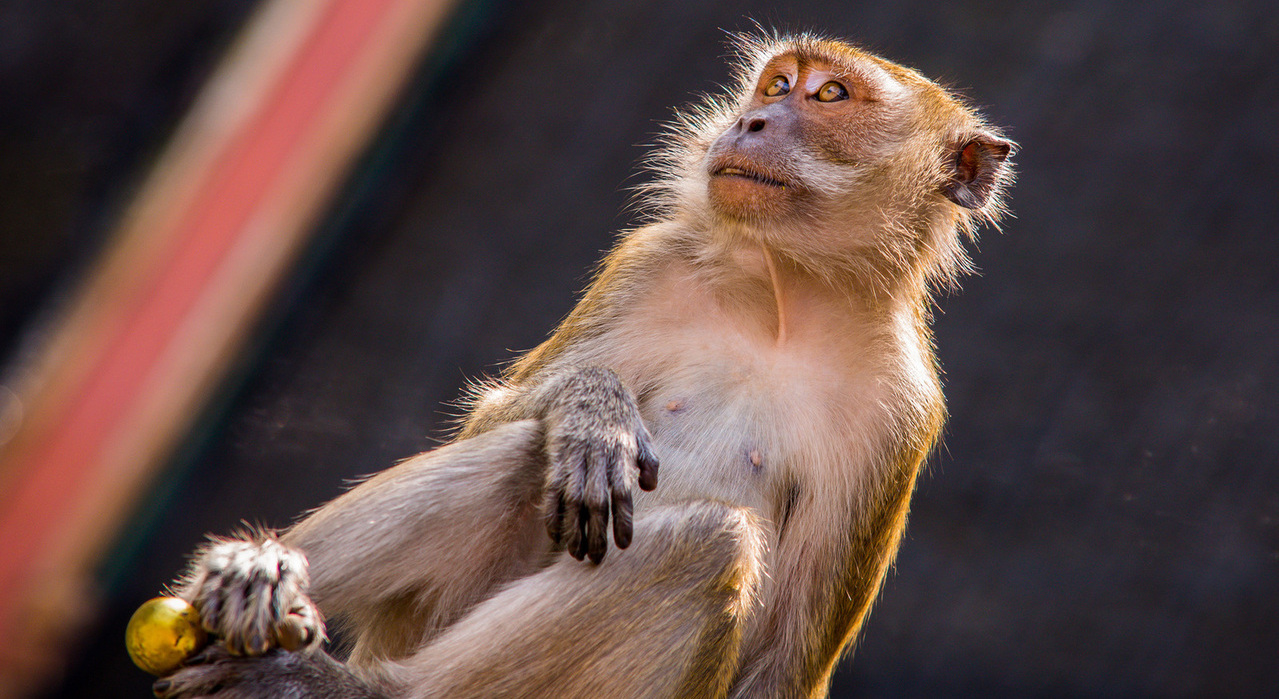 macaque-monkeys-1330953-1279x853 Aureliy Movila freeimages crop