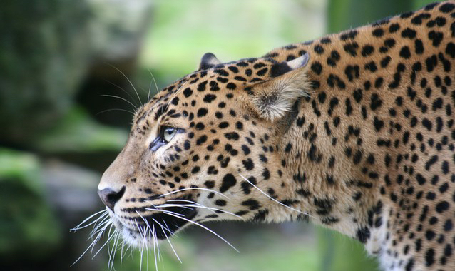 panther-close-up-1559931-638x425 Marco Luttenberg Freeimages