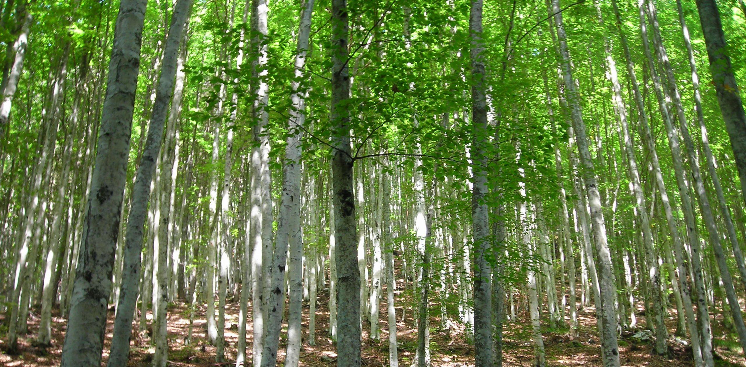 trees dolomites birch crop